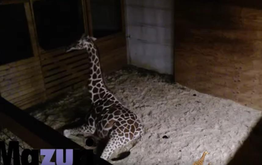 Жирафиха Эйприл. Фото Animal Adventure Park., Скриншот Youtube