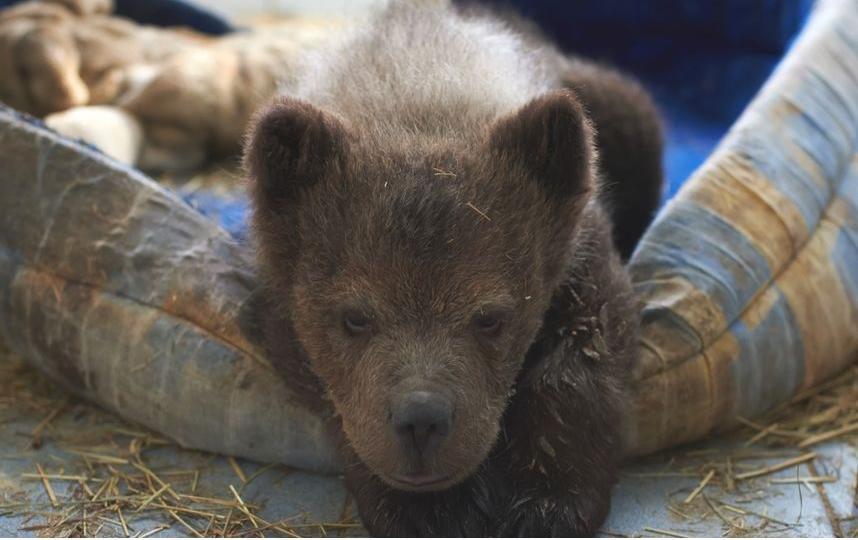 Медвежонок Сеня. Фото Архив Metro.