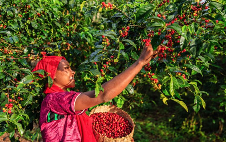 Плантации кофе сокращаются из-за глобального потепления. Фото Getty