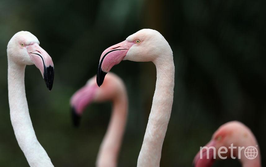 Красные фламинго. Фото Getty