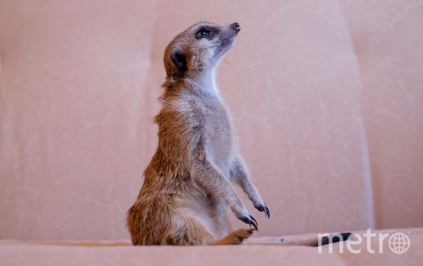 """В Северной столице появилась мода на новых домашних животных из семейства мангустовых. Фото Алена Бобрович., """"Metro"""""""