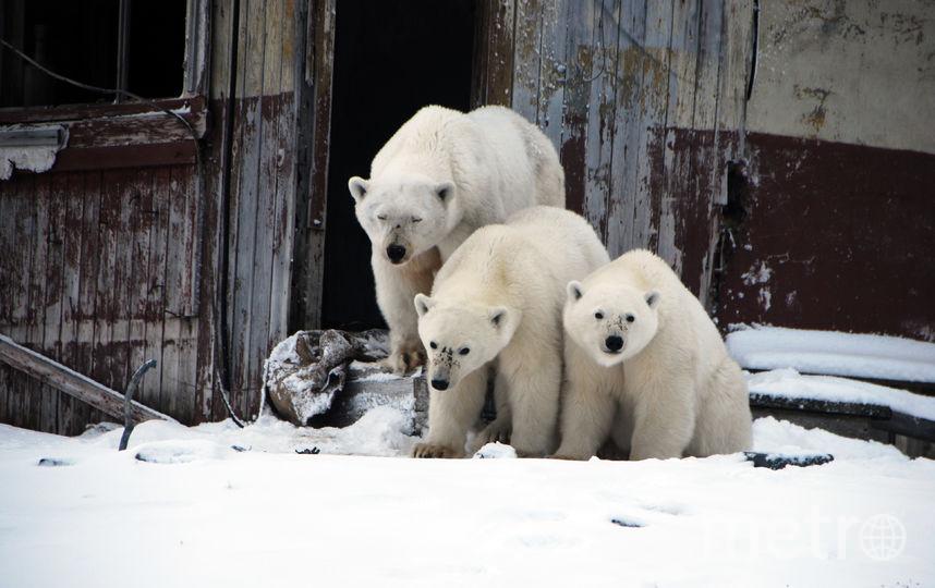 Белые медведи приходят в гости к людям целыми семьями. Фото WWF России/Виктор Никифоров