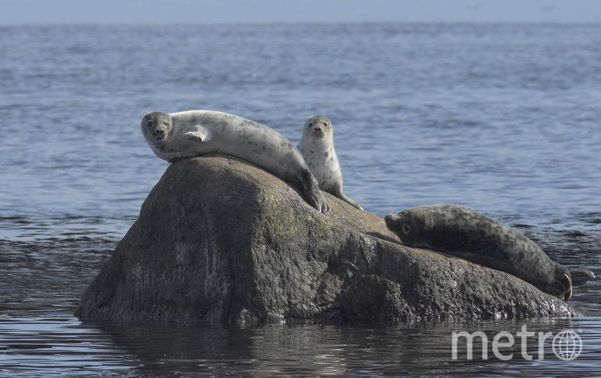 Серые тюлени. Фото Сергей Коузов
