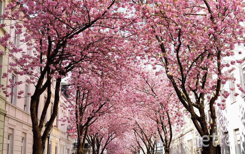 Цветение сакуры в Японии. Фото Getty