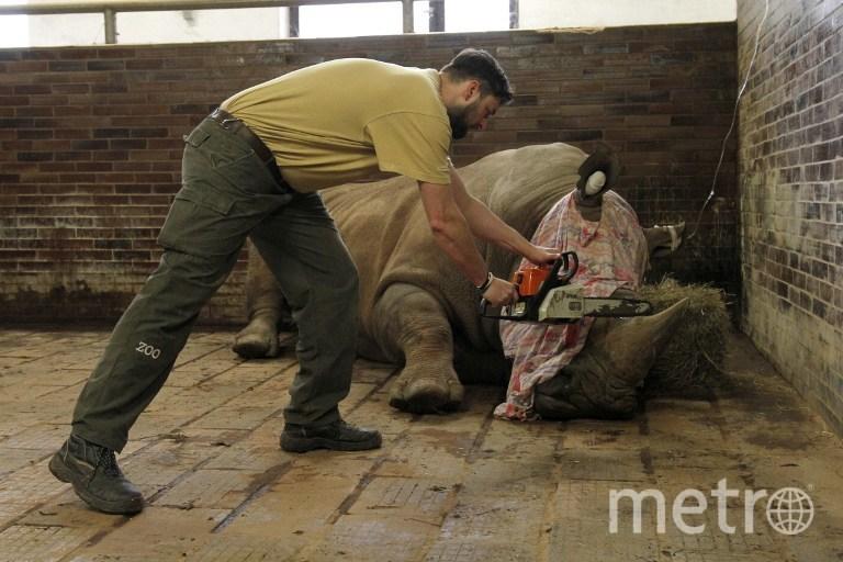 Носорогам отпиливают рога. Фото AFP