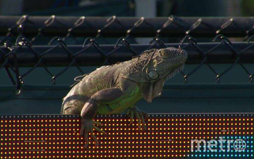 Игуана залезла на электронное табло. Фото скриншот Tennis TV, Скриншот Youtube