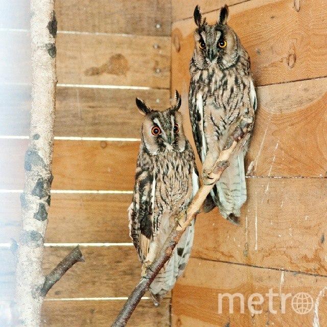 """В """"Час Земли"""" ушастые совы взлетят в Петербурге. Фото """"Metro"""""""