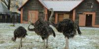 В Калининграде страус умер от страха