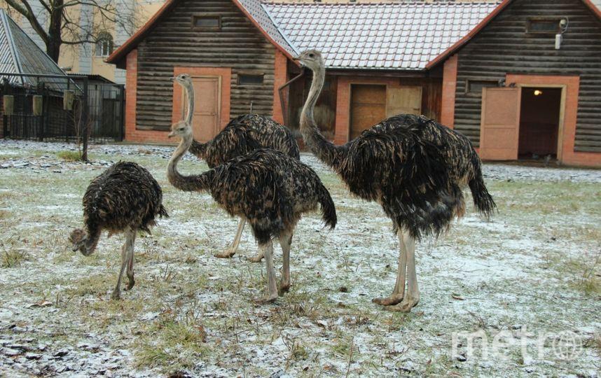 Страусы в Калининградском зоопарке. Фото kldzoo.ru