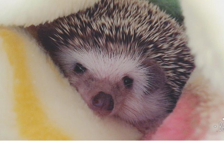 Набирающий популярность ёж из Японии. Фото Источник фото twitter.com/sutera_hedgehog