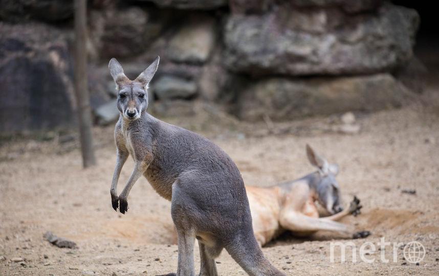 Кенгуру. Фото Getty