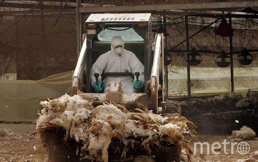 Последствия птичьего гриппа в Израиле, 2006 год. Фото Getty