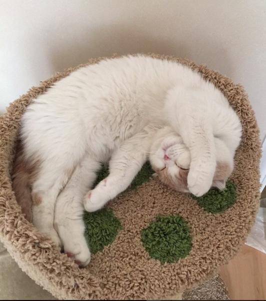 """У Леры Кудрявцевой пропал кот - пушистый """"шотландец"""" по кличке Фофа. Фото Instagram"""