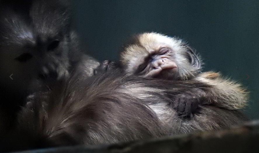 Детеныш капуцина плаксы и его мама. Фото mos.ru