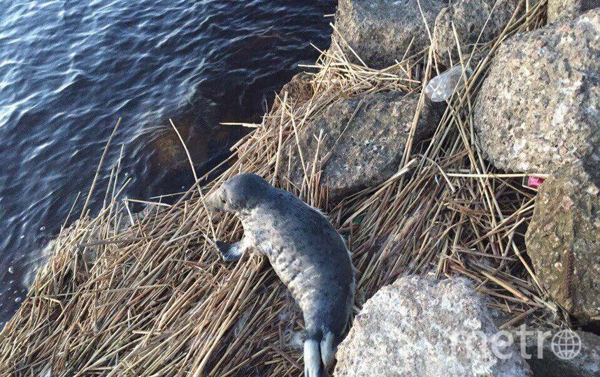 """Жительница Соснового Бора вечером 4 апреля спасла маленького тюленя. Фото предоставлены Фондом., """"Metro"""""""