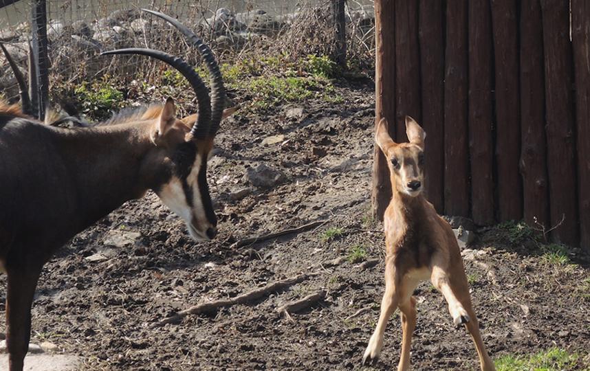 Детёныш редкой чёрной антилопы. Фото mos.ru