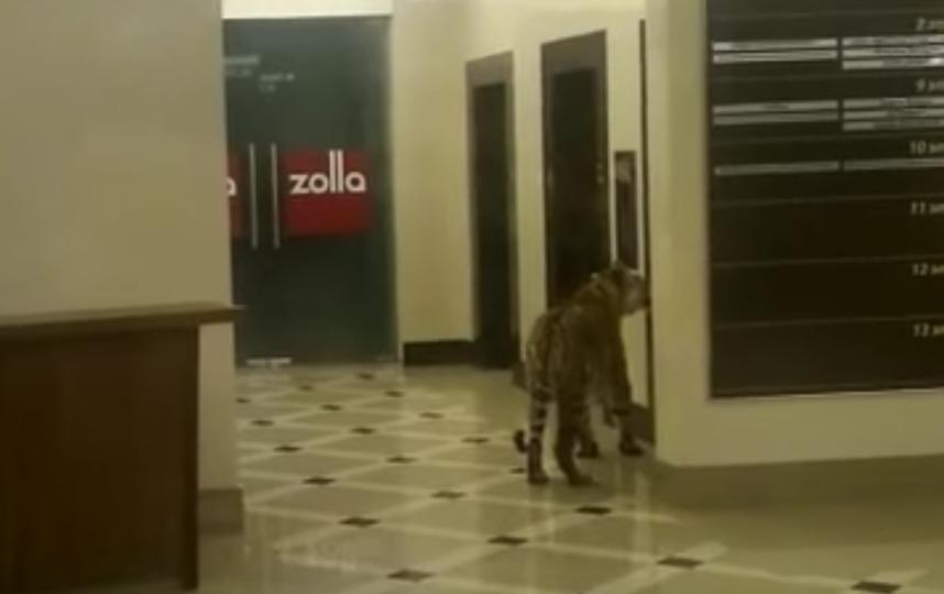 Тигр в торговом центре в Хабаровске. Фото Скриншот Youtube