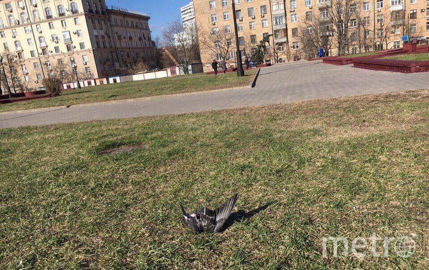 """Мёртвые голуби в столице. Фото Руслана Карпова., """"Metro"""""""