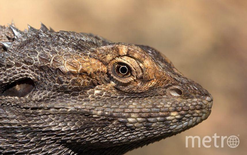 Бородатая агама. Фото Getty