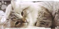 О судьбе кота, подаренного Путиным, рассказал японский губернатор