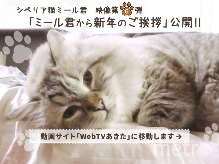 Фото кота Мира. Фото http://www.pref.akita.lg.jp