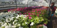 Какие цветы появятся на клумбах в Петербурге