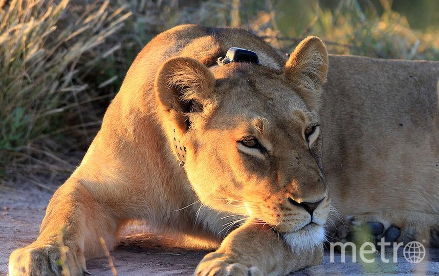 Львица. Фото Getty