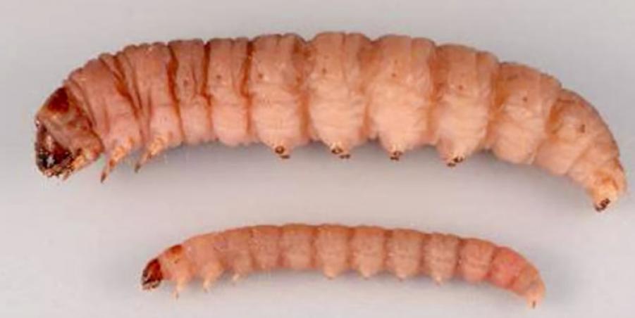 Гусеницы избавят население Земли отполиэтилена
